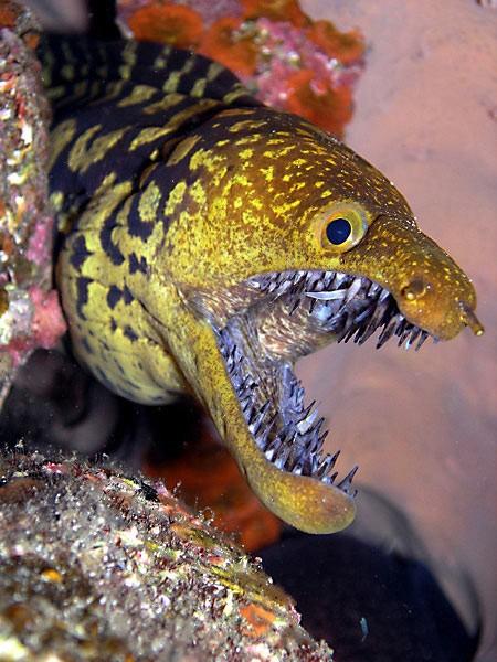 Morayfang tooth Cavalier & Blue Marlin Sport Fishing Gran Canaria