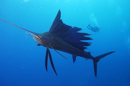 SailfishAtlantic Cavalier & Blue Marlin Sport Fishing Gran Canaria