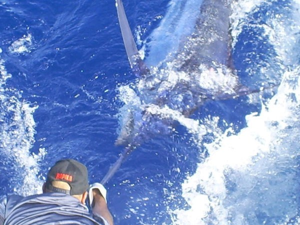 tag and release Cavalier & Blue Marlin Sport Fishing Gran Canaria