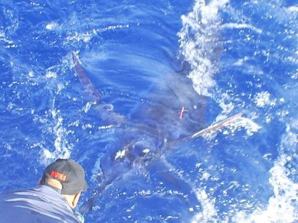 Tagged Cavalier & Blue Marlin Sportfischen Gran Canaria