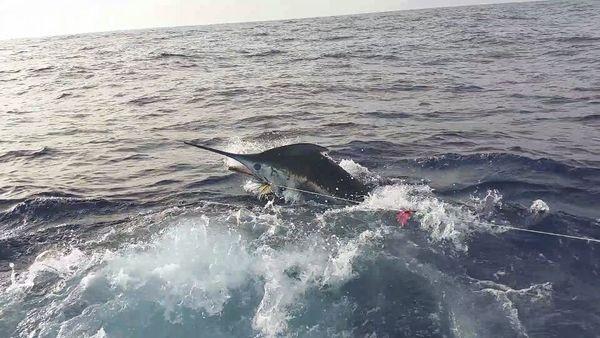 Blue Marlin detrás del barco Cavalier Pesca Deportiva Cavalier & Blue Marlin Gran Canaria