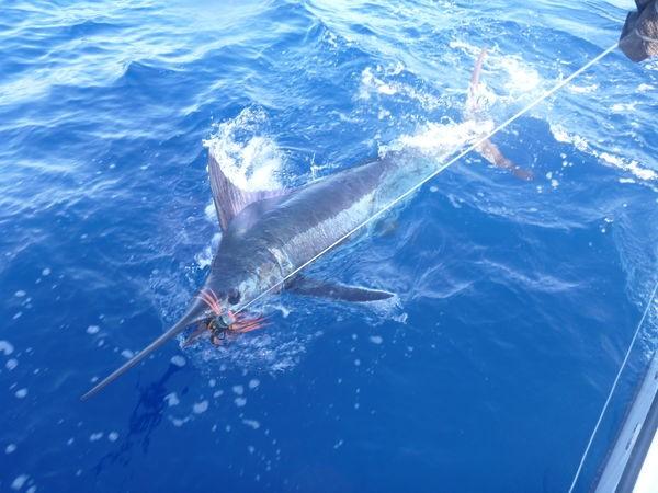 140 kg Blue Marlin lanzado por Stephan Mostrom en el Cavalier Pesca Deportiva Cavalier & Blue Marlin Gran Canaria