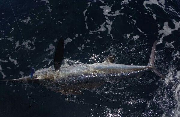 White Marlin lanzado por Gert van Leest Pesca Deportiva Cavalier & Blue Marlin Gran Canaria