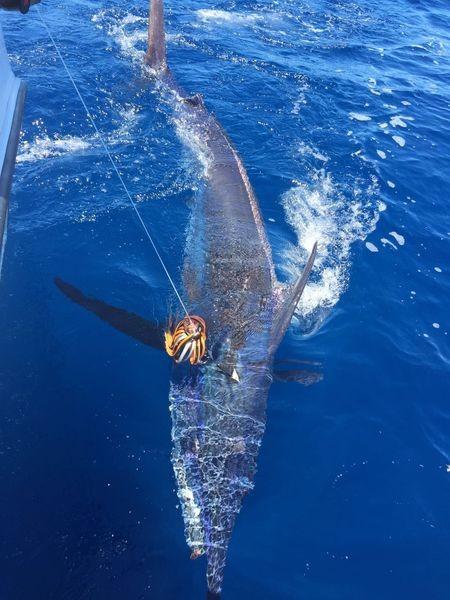 Blue Marlin - 600 lbs Blue Marlin Cavalier & Blue Marlin Sport Fishing Gran Canaria