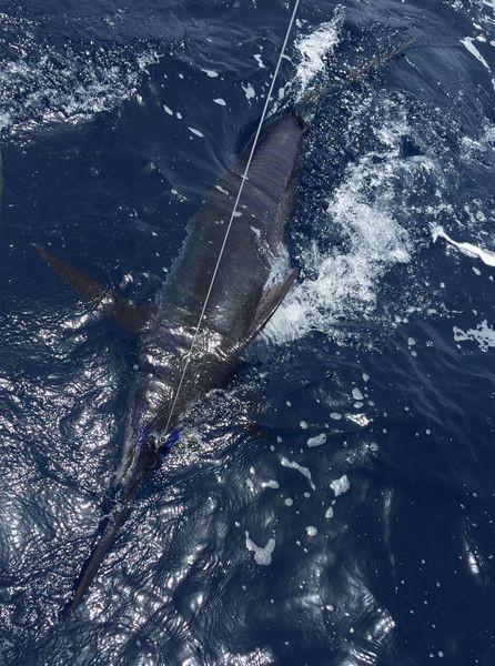 Blue Marlin released by Dave van Balkum from Holland Cavalier & Blue Marlin Sport Fishing Gran Canaria