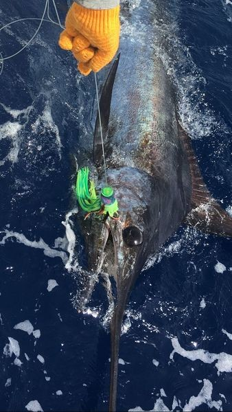 300 lb Blue Marlin Cavalier & Blue Marlin Sport Fishing Gran Canaria