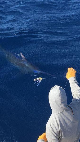 660 lb Blue Marlin - Blue Marlin 660 lbs Cavalier & Blue Marlin Sport Fishing Gran Canaria