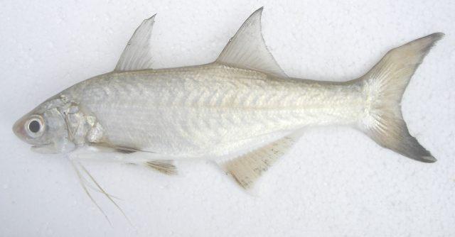 Beardfish stout Cavalier & Blue Marlin Sport Fishing Gran Canaria