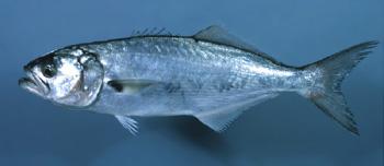 Blue fish Cavalier & Blue Marlin Sport Fishing Gran Canaria
