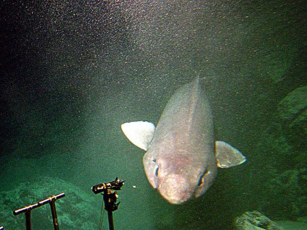 Catshark false Cavalier & Blue Marlin Sport Fishing Gran Canaria