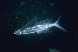 Flyingfish tropisk två vinge Cavalier & Blue Marlin Sport Fishing Gran Canaria