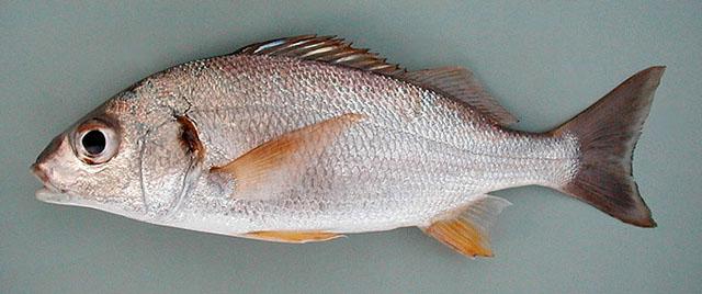 Bastardo gruñón Pesca Deportiva Cavalier & Blue Marlin Gran Canaria