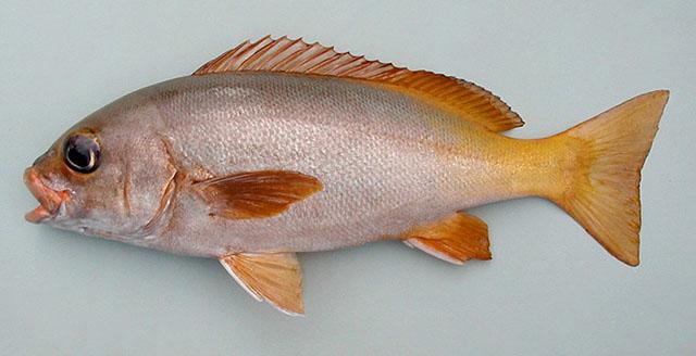 Grunt guinean Cavalier & Blue Marlin Sport Fishing Gran Canaria