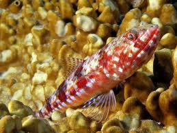 Lizardfish diamond Cavalier & Blue Marlin Sport Fishing Gran Canaria