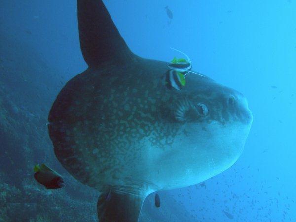 Molasharp tail Cavalier & Blue Marlin Sport Fishing Gran Canaria