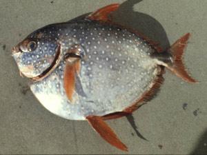 Opah Cavalier & Blue Marlin Sport Fishing Gran Canaria