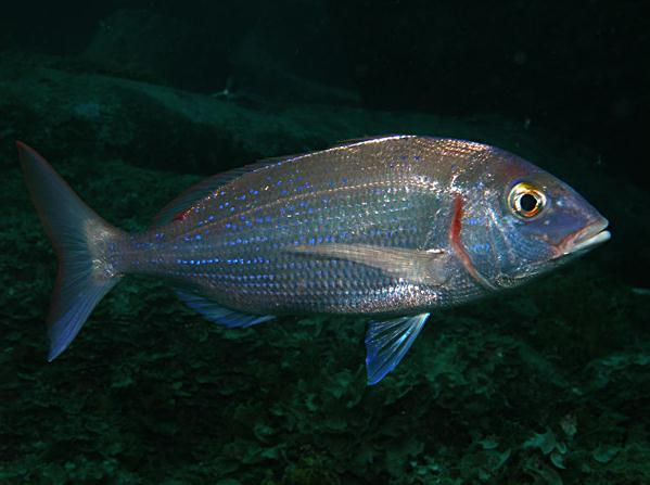 Pandora common Cavalier & Blue Marlin Sport Fishing Gran Canaria