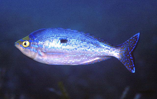 Picarelblotched Cavalier & Blue Marlin Sport Fishing Gran Canaria