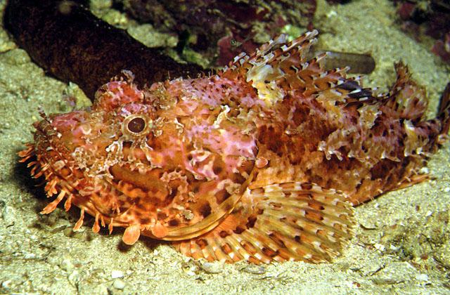 Scorpionfish large scaled Cavalier & Blue Marlin Sport Fishing Gran Canaria