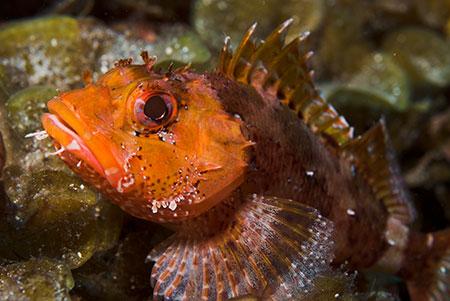 Scorpionfish Madeira Cavalier & Blue Marlin Sport Fishing Gran Canaria