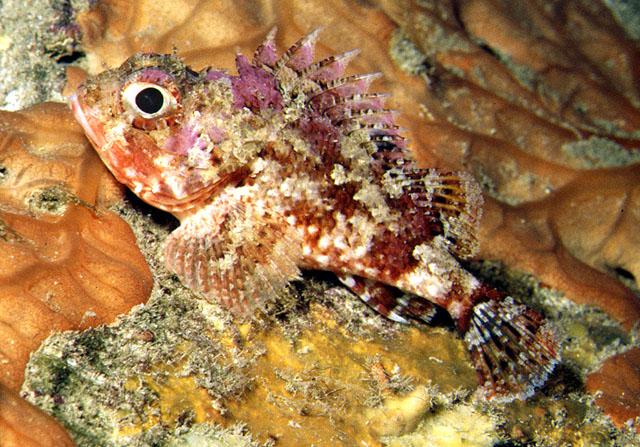 Scorpionfishsmall red Cavalier & Blue Marlin Sport Fishing Gran Canaria