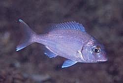 Seabream common Cavalier & Blue Marlin Sport Fishing Gran Canaria
