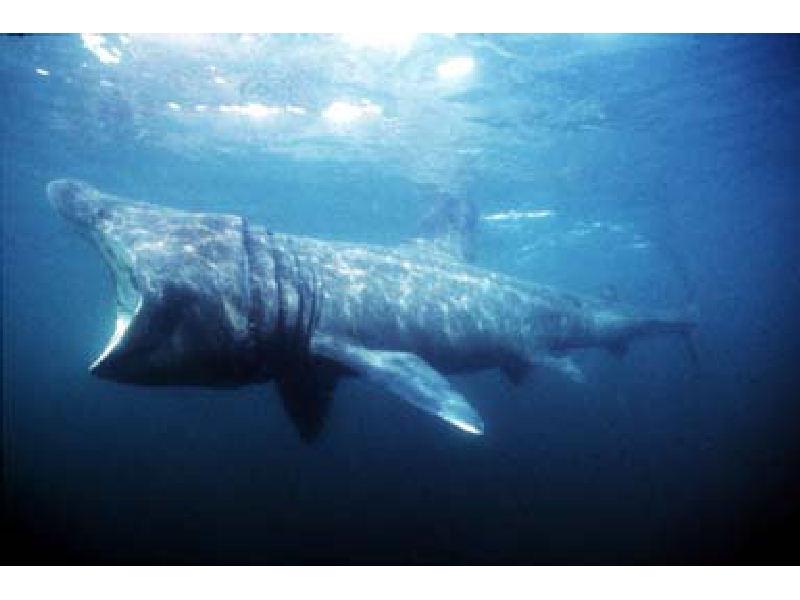 Shark basking Cavalier & Blue Marlin Sport Fishing Gran Canaria