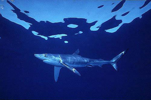 Shark blue Cavalier & Blue Marlin Sport Fishing Gran Canaria