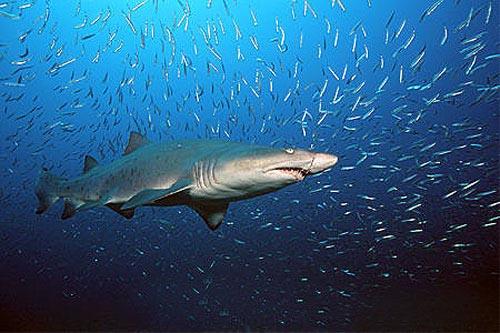 Shark sand tiger Cavalier & Blue Marlin Sport Fishing Gran Canaria