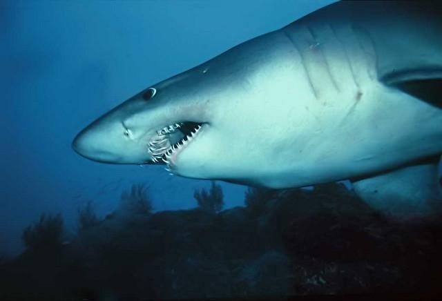 Shark sand tigersmalltooth Cavalier & Blue Marlin Sport Fishing Gran Canaria