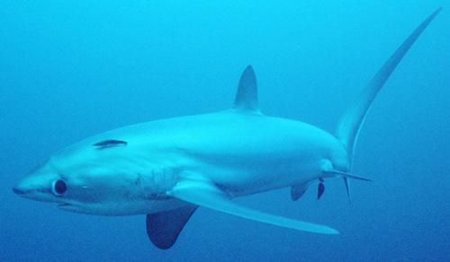 Shark thresherbig eye Cavalier & Blue Marlin Sport Fishing Gran Canaria