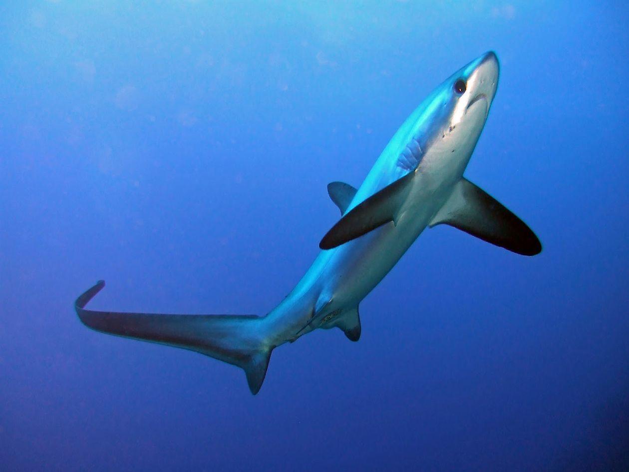 Shark thresherthintail Cavalier & Blue Marlin Sport Fishing Gran Canaria