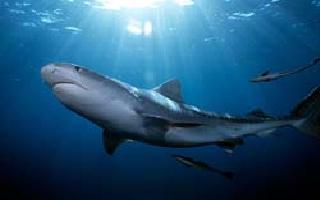 Shark tiger Cavalier & Blue Marlin Sport Fishing Gran Canaria