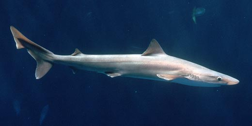 Shark tope Cavalier & Blue Marlin Sport Fishing Gran Canaria