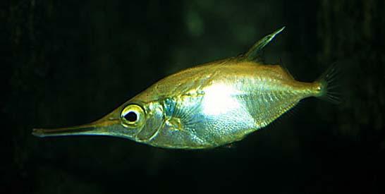 Snipefish longspine Cavalier & Blue Marlin Sport Fishing Gran Canaria