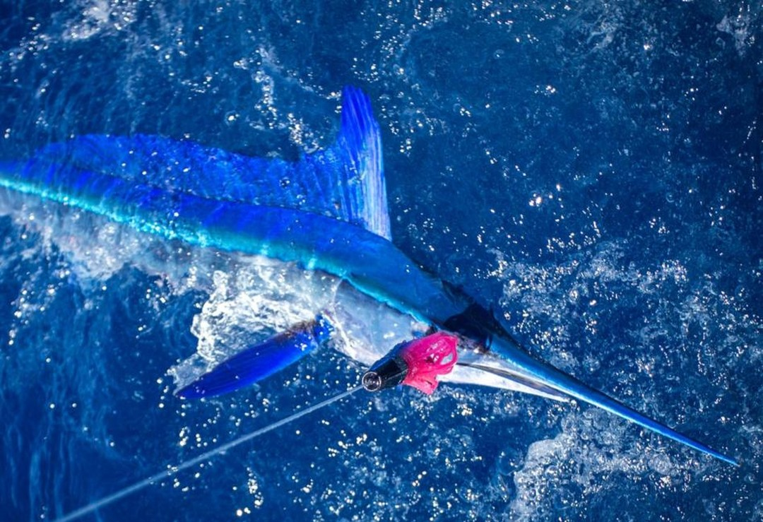 Spearfish long bill Cavalier & Blue Marlin Sport Fishing Gran Canaria