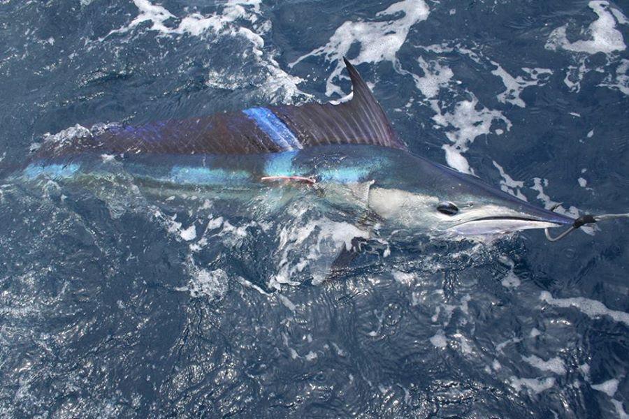 Spearfish roundscale Cavalier & Blue Marlin Sport Fishing Gran Canaria