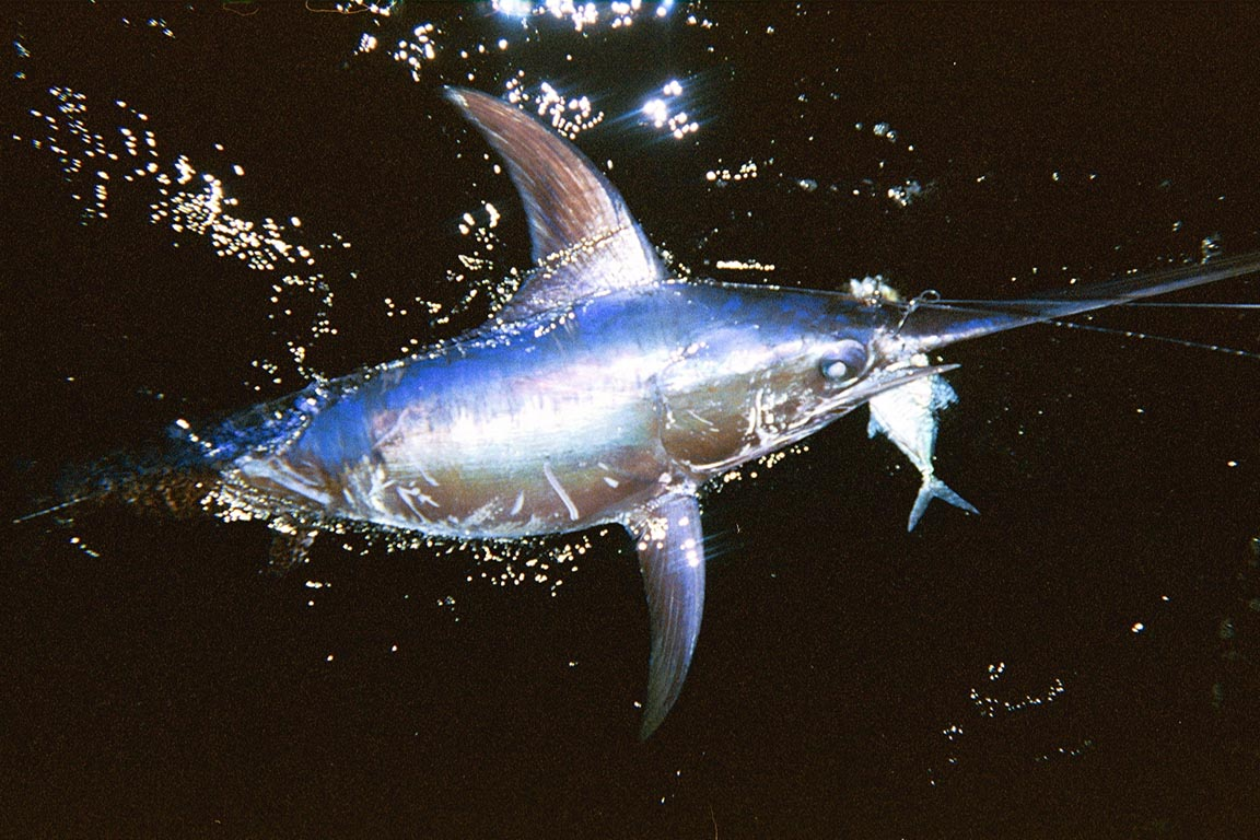 Swordfish Cavalier & Blue Marlin Sport Fishing Gran Canaria