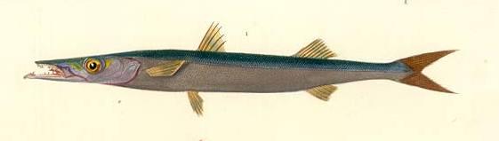BarracudaGuachanche Cavalier & Blue Marlin Sport Fishing Gran Canaria