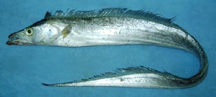 Cutlassfish Atlantic Cavalier & Blue Marlin Sport Fishing Gran Canaria