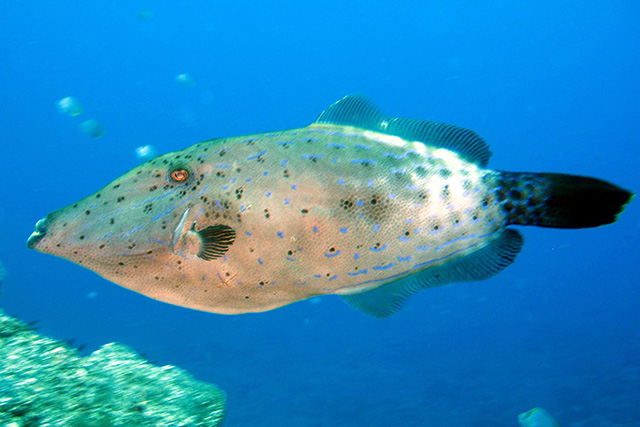 Filefish scrawled Cavalier & Blue Marlin Sport Fishing Gran Canaria