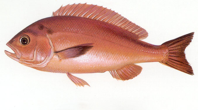 Grunt rubberlip Cavalier & Blue Marlin Sport Fishing Gran Canaria