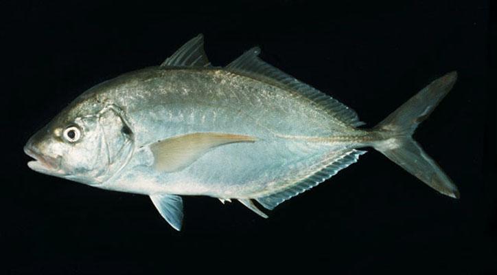 Trevally silver Cavalier & Blue Marlin Sport Fishing Gran Canaria