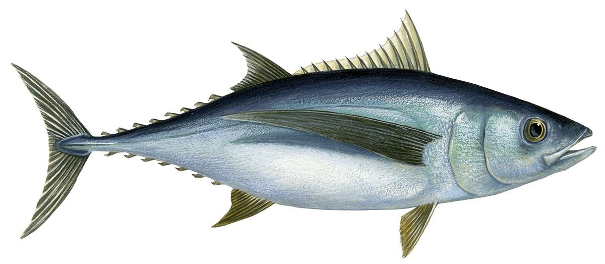 Tuna Albacore  Tuna White Cavalier & Blue Marlin Sport Fishing Gran Canaria
