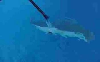pregnant stingray - 1 Cavalier & Blue Marlin Sport Fishing Gran Canaria