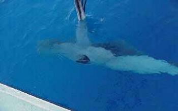 pregnant stingray - 2 Cavalier & Blue Marlin Sport Fishing Gran Canaria