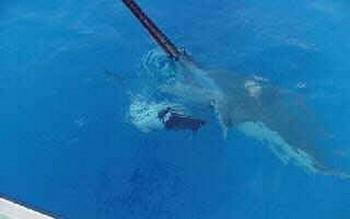 pregnant stingray - 4 Cavalier & Blue Marlin Sport Fishing Gran Canaria