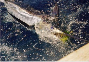 17/07 aguja azul Pesca Deportiva Cavalier & Blue Marlin Gran Canaria