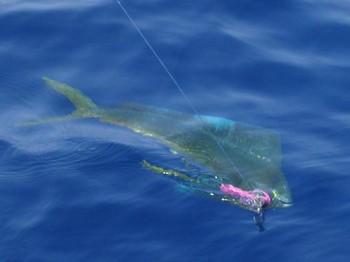 16/06 dorado Cavalier & Blue Marlin Sport Fishing Gran Canaria