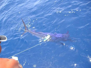 15/07 blue marlin Cavalier & Blue Marlin Sport Fishing Gran Canaria